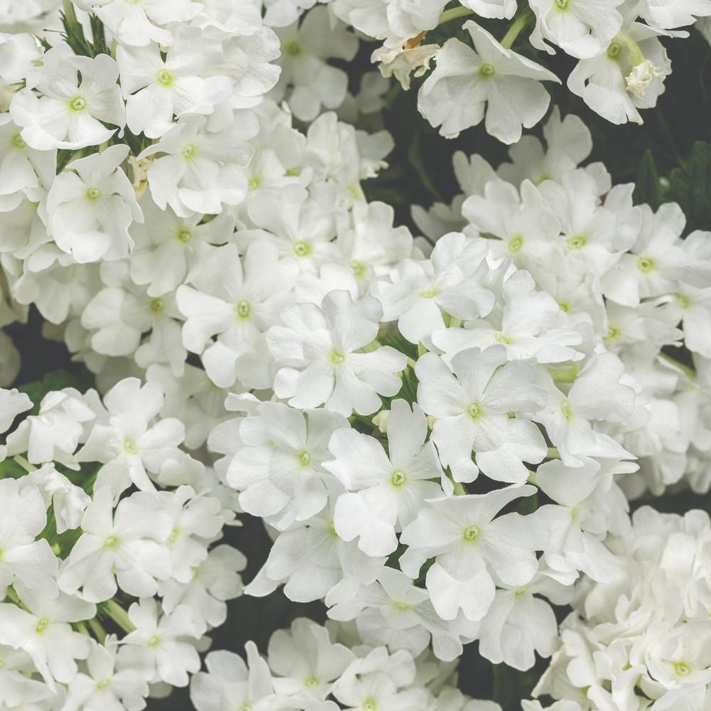 Verbena Superbena® Whiteout™