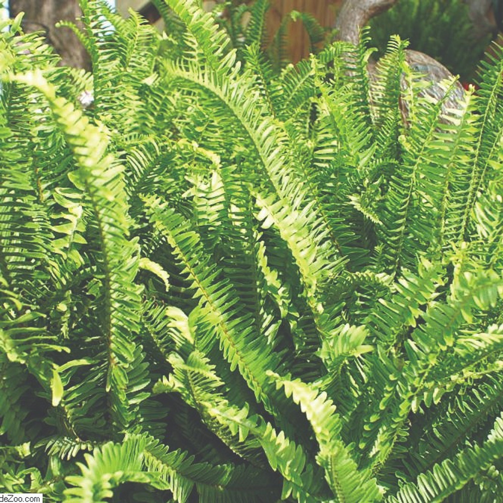 Nephrolepis obliterata (Kimberly Queen Fern)