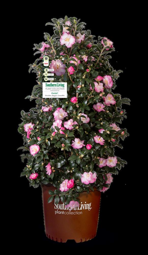 Camellia October Magic® Orchid™