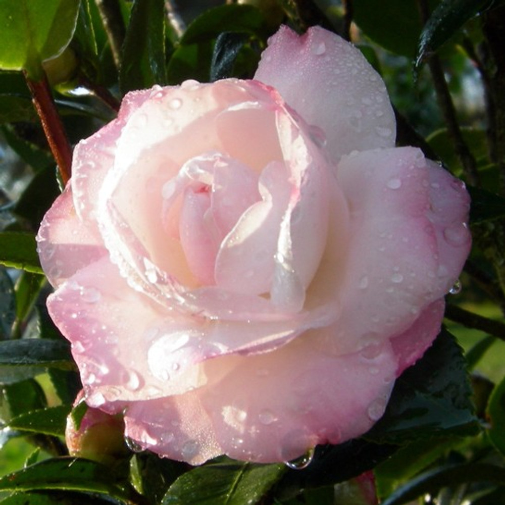 Camellia October Magic® Dawn™