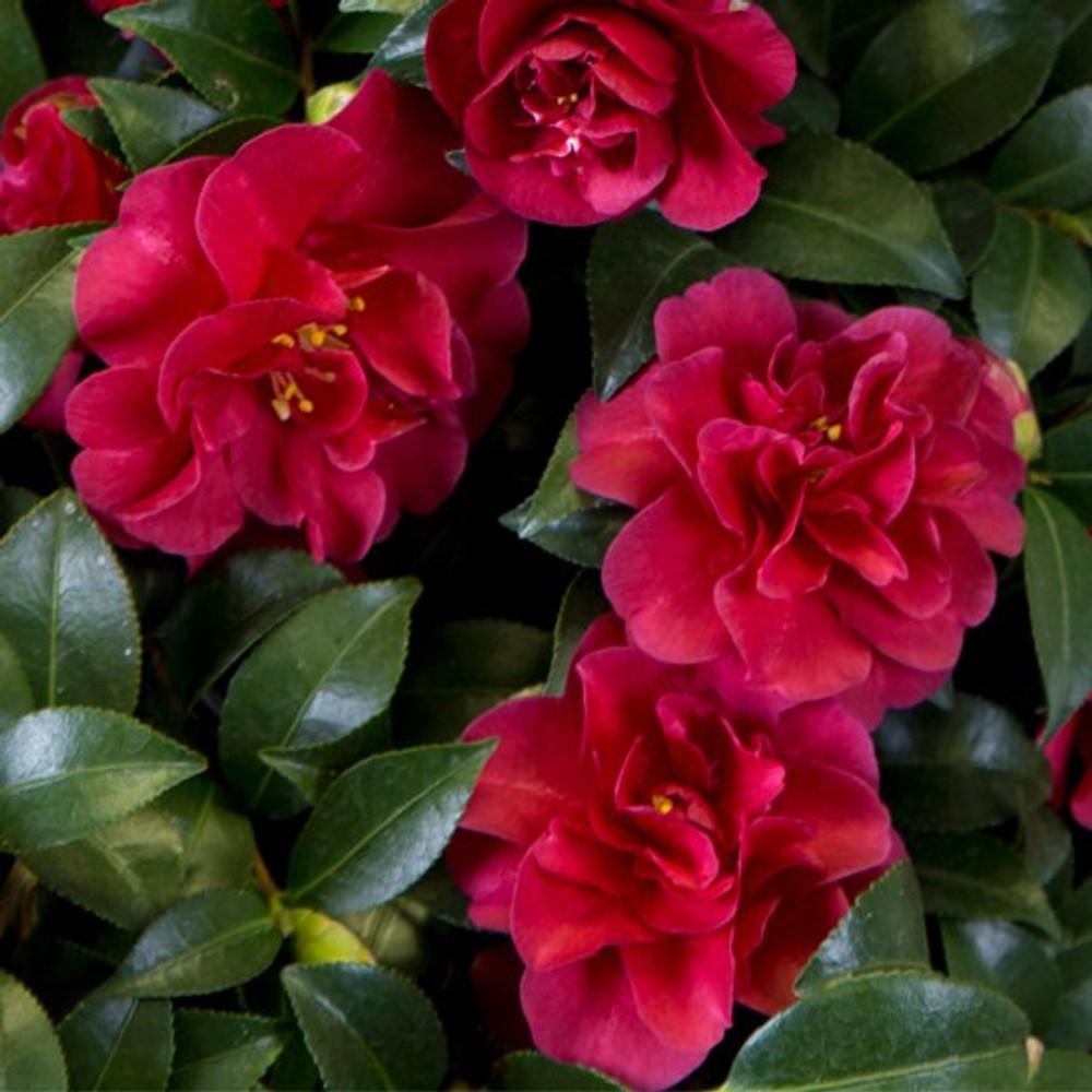 Camellia October Magic® Ruby™