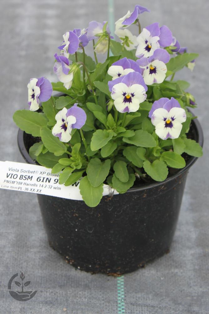 Viola Sorbet® XP Blueberry Sundae Mix