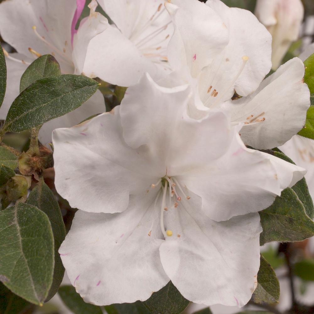 Azalea Autumn Lily®