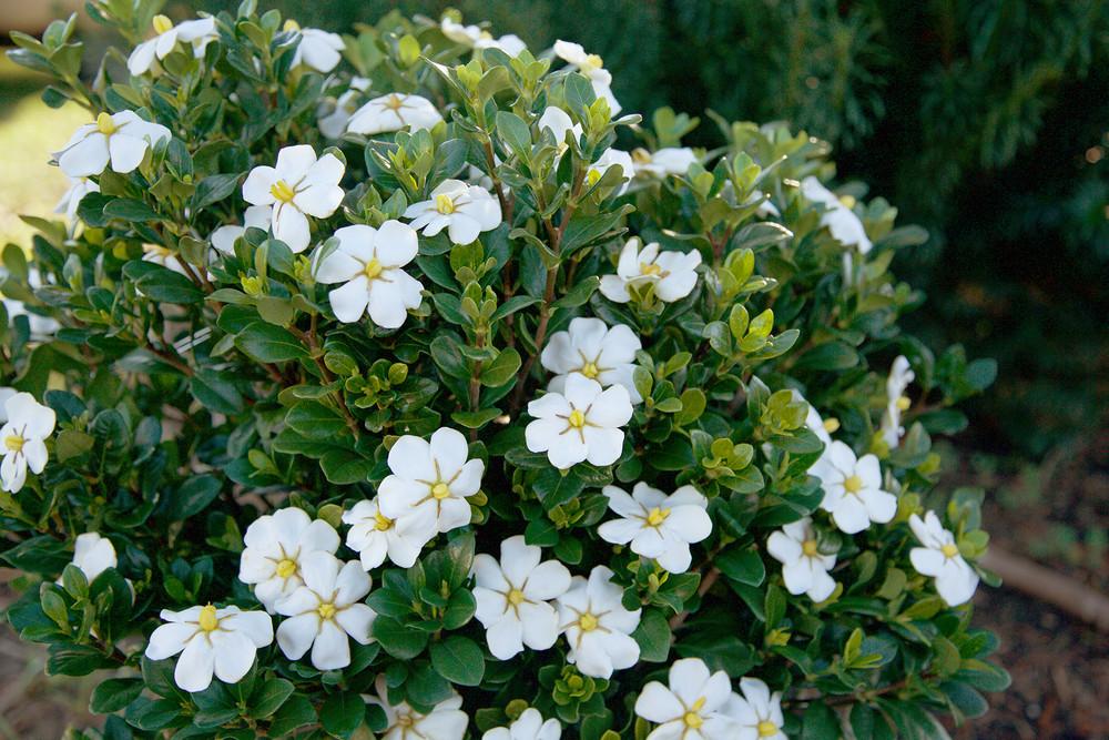 Gardenia ScentAmazing™