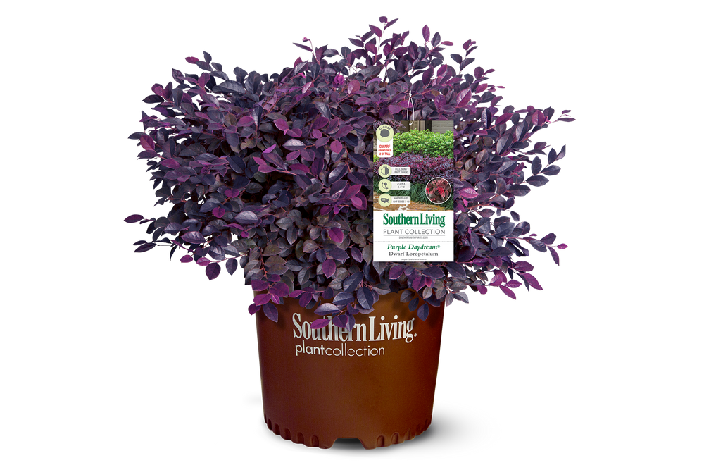 Loropetalum Purple Daydream®