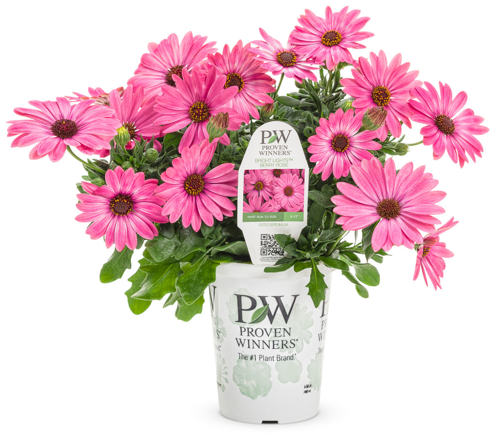 African Daisy Bright Lights™ Berry Rose