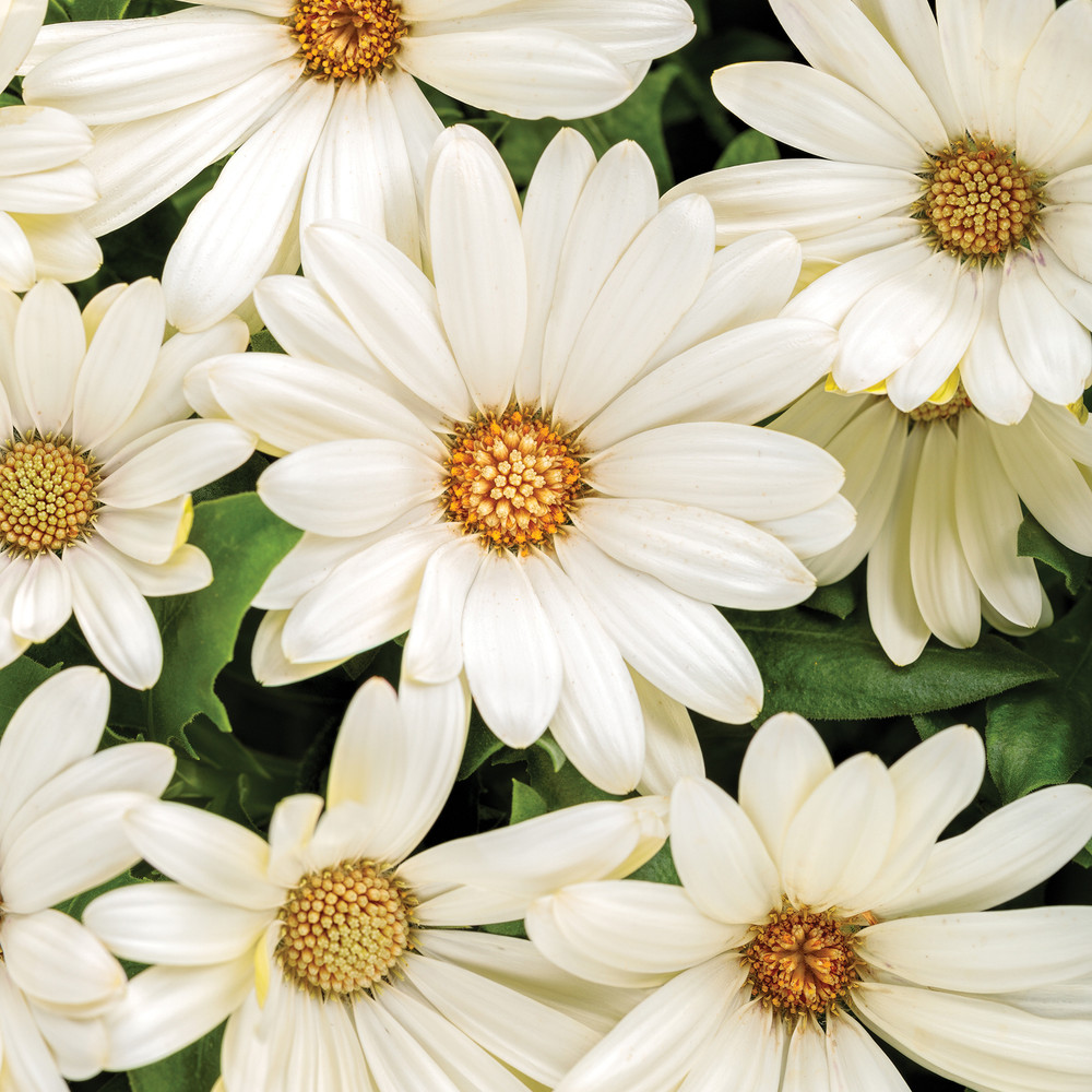 African Daisy Bright Lights™ White