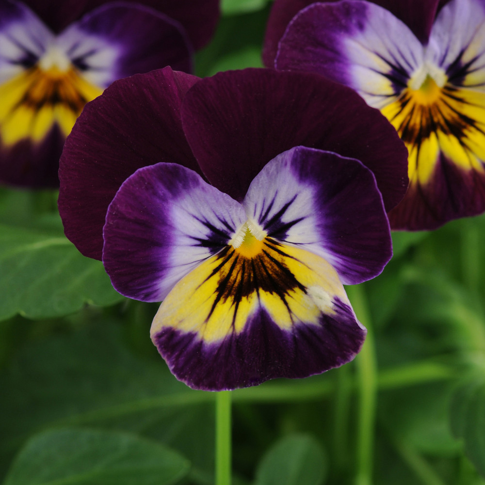 Viola Sorbet® Midnight Glow