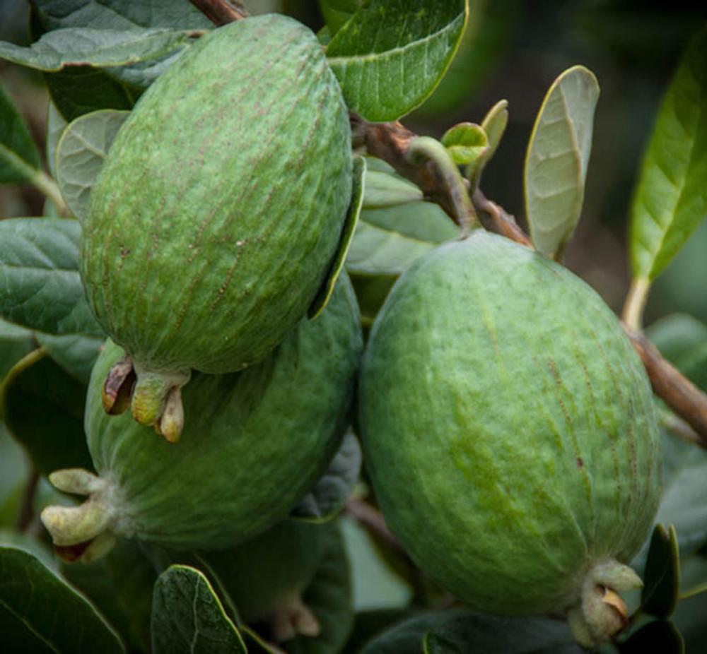 Acca sellowiana (Pineapple Guava)