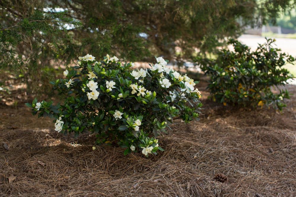 Gardenia Sweet Tea™
