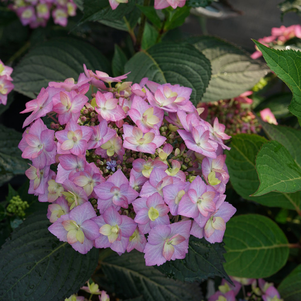 Hydrangea ser. Let's Dance® Can Do!™