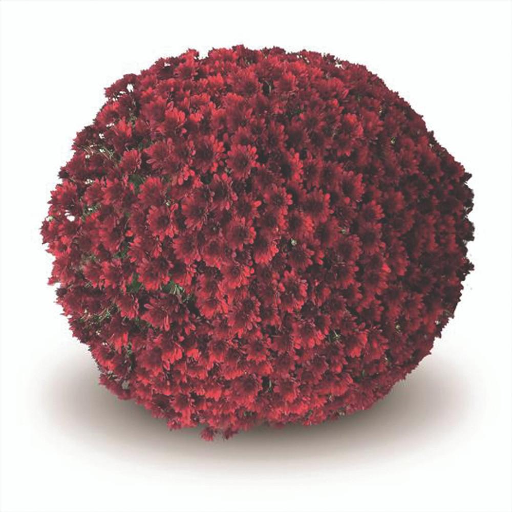 Belgian Mums® Como Red