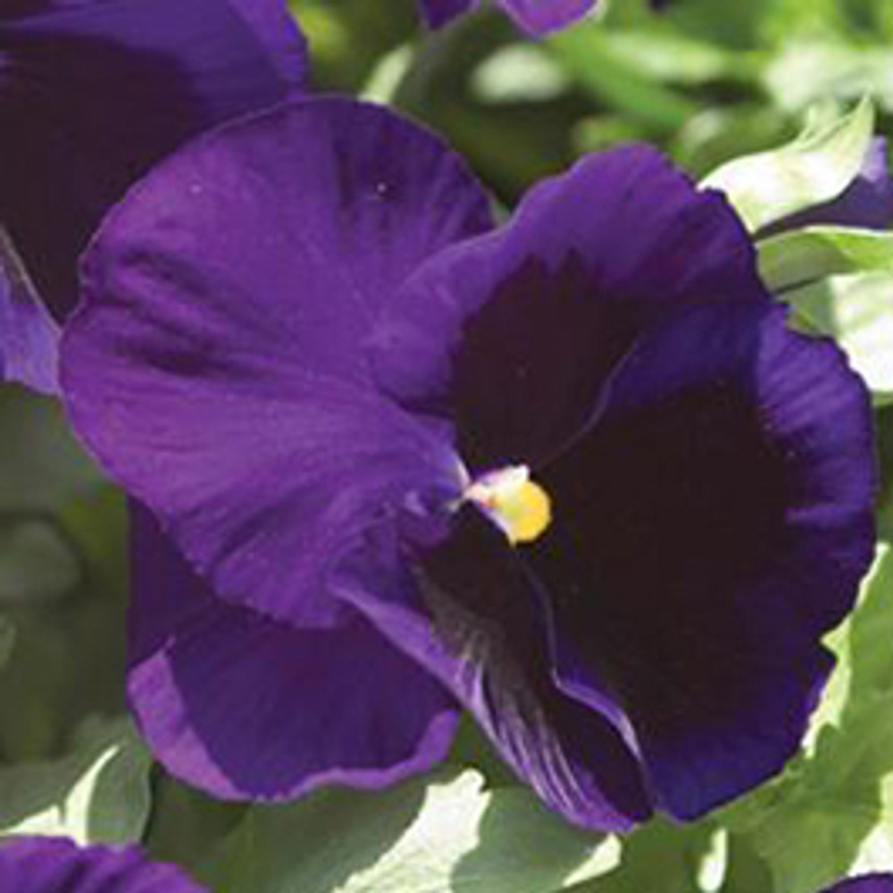 Pansy Majestic Giants II Deep Blue With Blotch