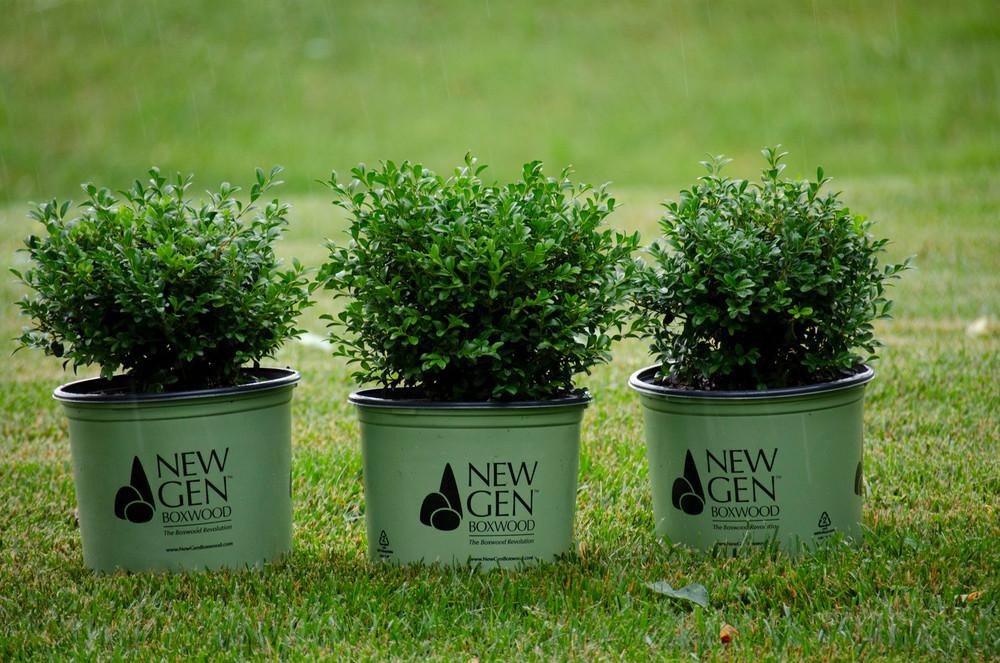Buxus NewGen Independence®