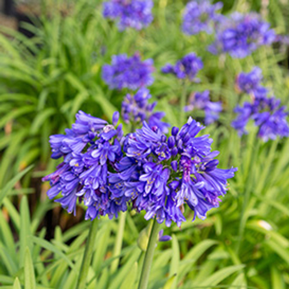 Agapanthus Ever Midnight™ (Lily of the Nile)