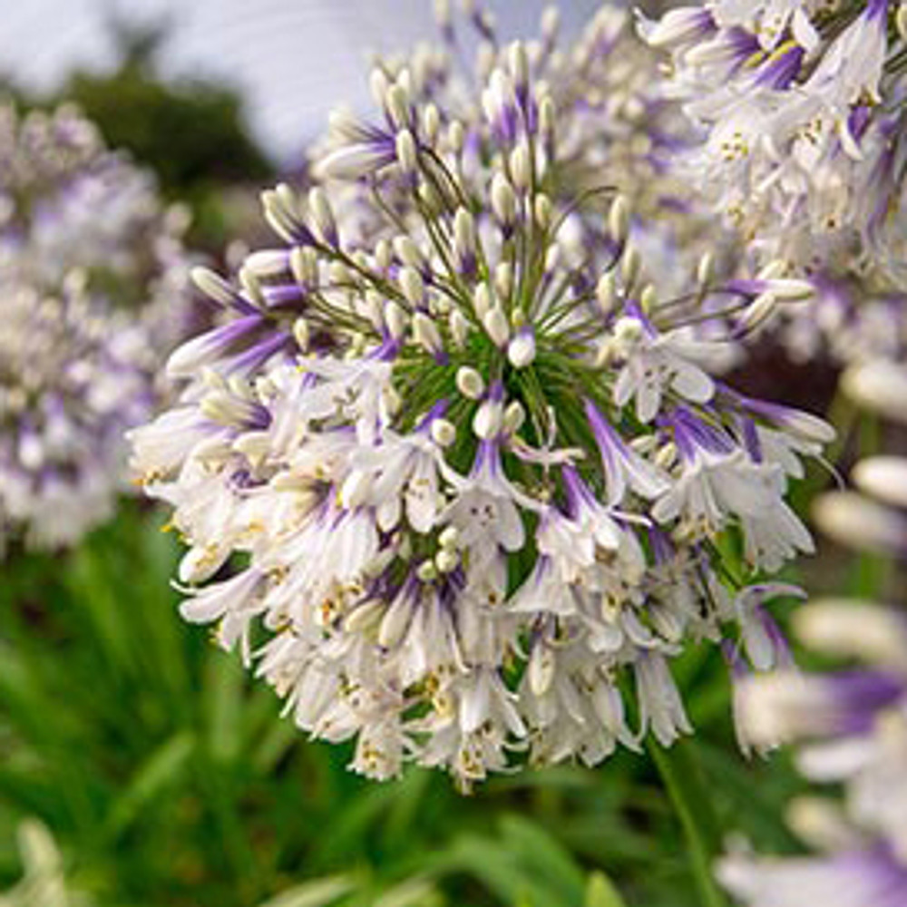 Agapanthus Ever Twilight™ (Lily of the Nile)