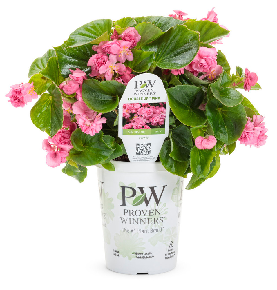 Begonia Double Up™ Pink