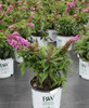 Butterfly Bush Pugster Periwinkle®