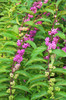 Beautyberry Issai