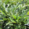 Evergreen Witchhazel Vintage Jade