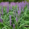 Monkey Grass Royal Purple