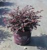 Fringe-Flower Crimson Fire™