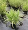 Variegated Maiden Grass Cosmopolitan