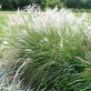 Dwarf Maiden Grass Little Kitten