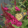 Butterfly Bush Miss Molly