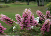 Hydrangea Gatsby Pink®