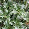 False Holly/Tea Olive Gulftide