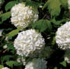 Viburnum Chinese Snowball