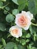 Rose Brindabella Roses™ Dawn™