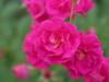 Rose Oso Easy Peasy ®