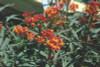 Milkweed Silky Deep Red