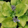 Hosta Shadowland® Coast to Coast