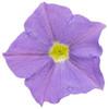 Petunia Supertunia® Blue Skies