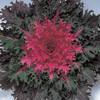 Coral Queen Ornamental Kale