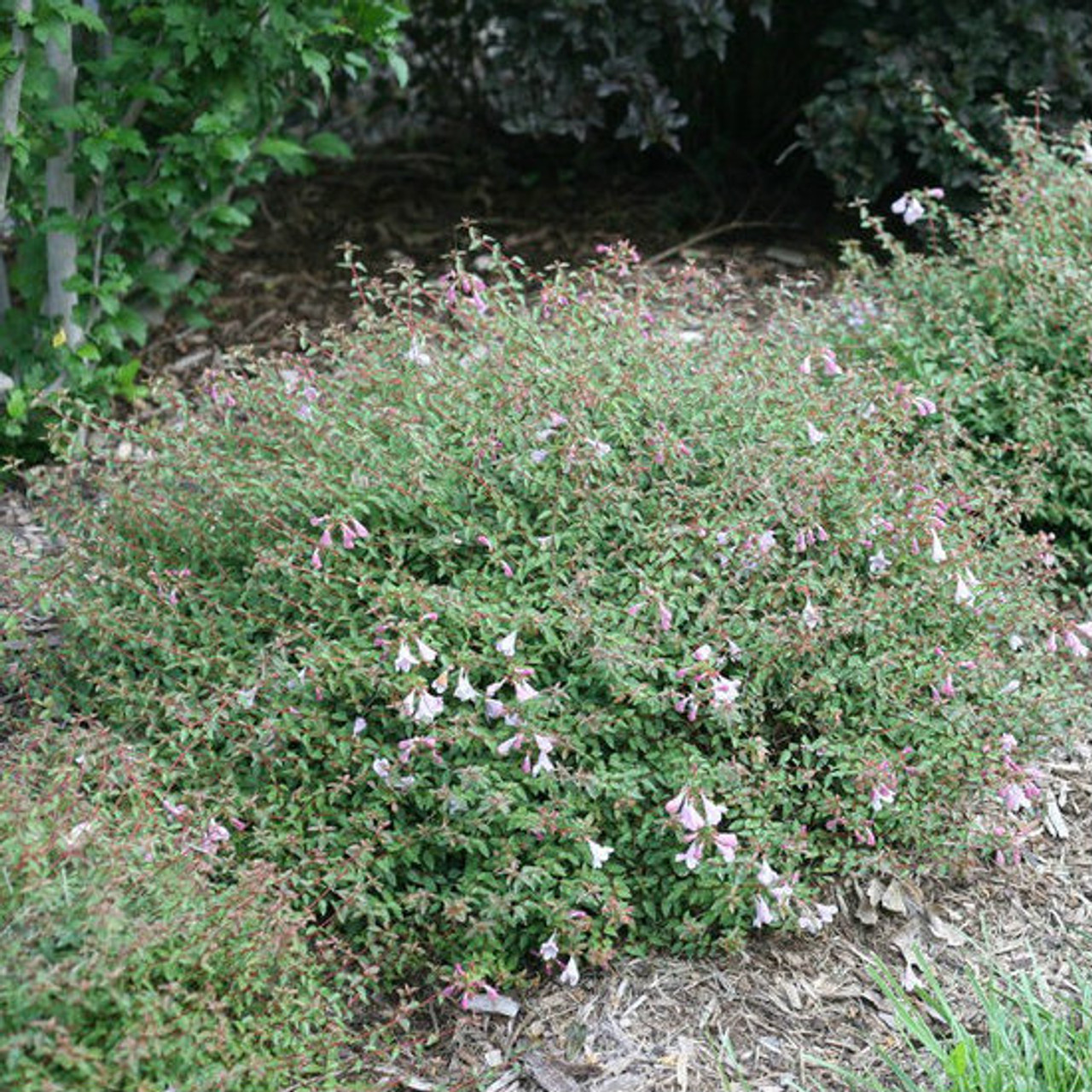 Abelia Pinky Bells Gardens Direct