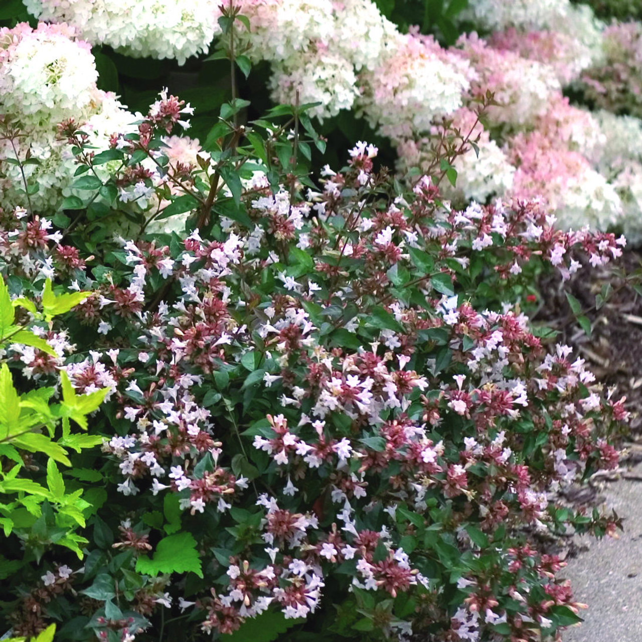 Abelia Ruby Anniversary Gardens Direct