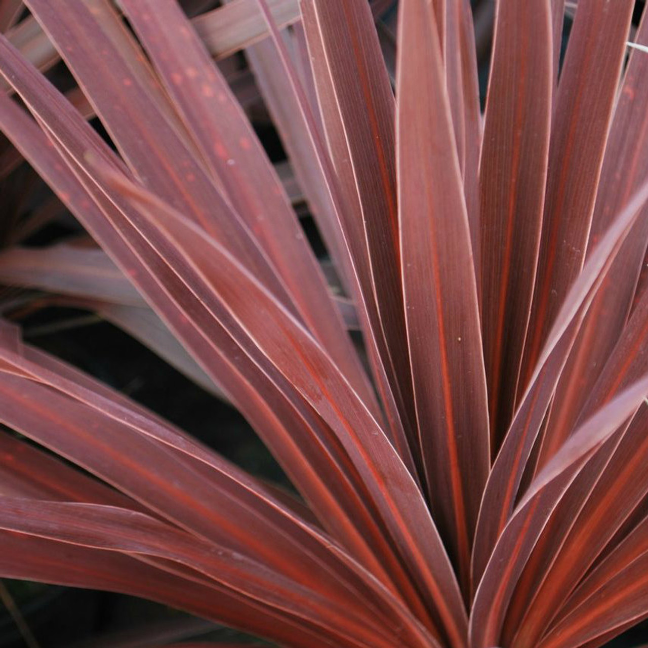 False Dracaena Red Star on red bonsai plant, red fittonia plant, red draceane, red dieffenbachia plant, red zinnia plant, cordyline plant, red pothos plant, red calibrachoa plant, red spathiphyllum plant, red ferns plant, red peperomia plant, red caladium plant, red echeveria plant, red dracaena marginata, red edged dracaena, red aphelandra plant, red clivia plant, red sedum plant, red begonia plant, red sansevieria plant,