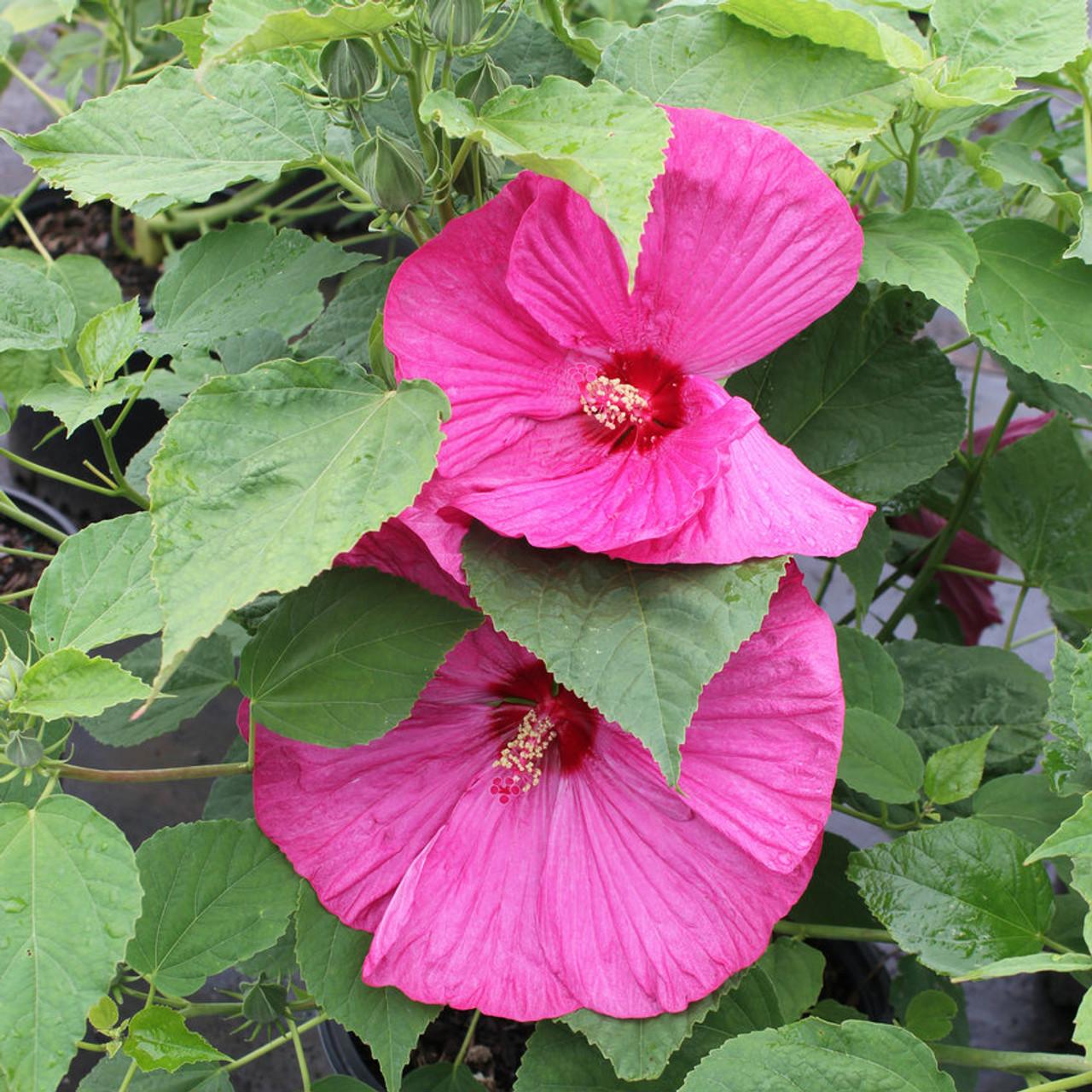 Hibiscus Luna Rose Gardens Direct