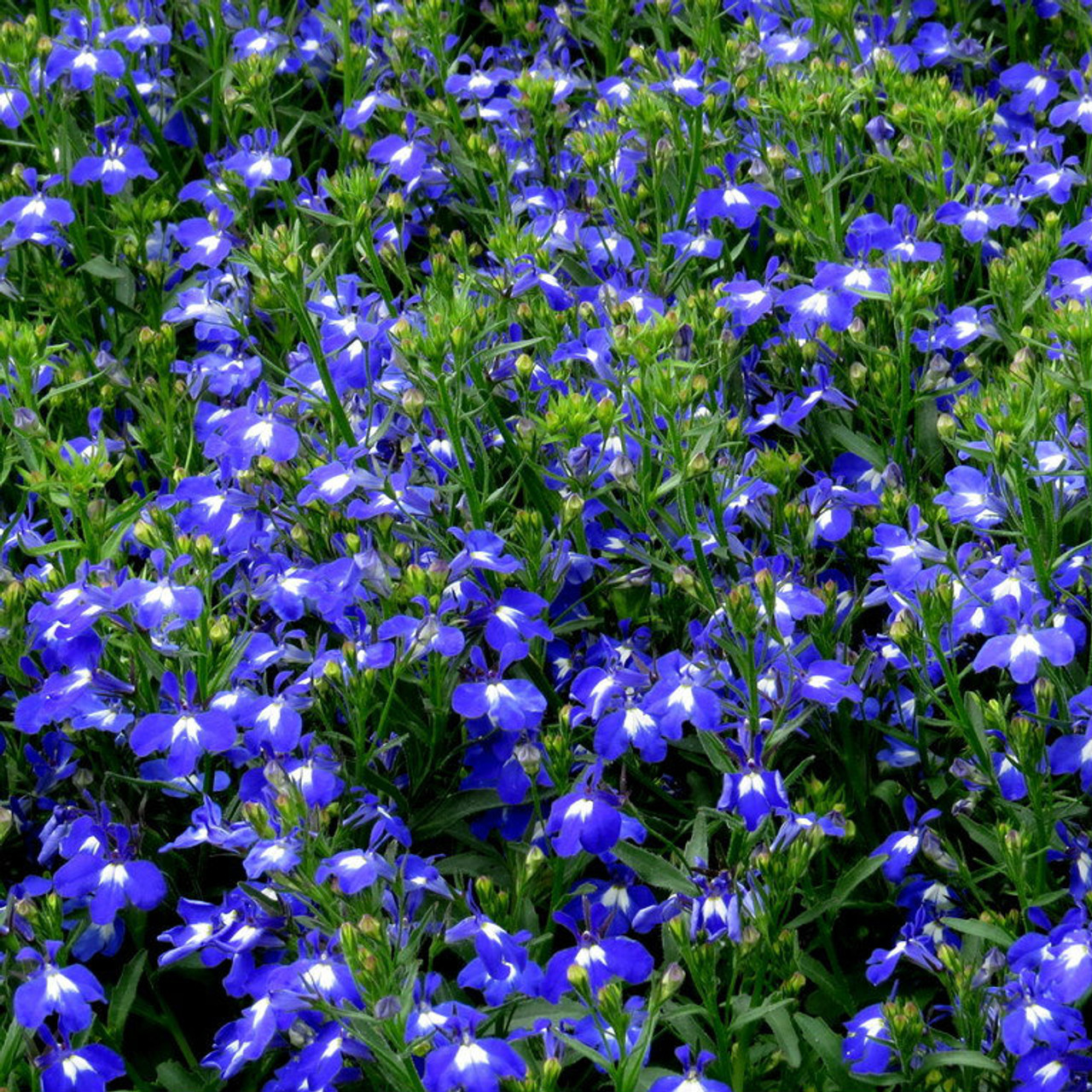 Lobelia Techno Heat Upright Dark Blue Gardens Direct