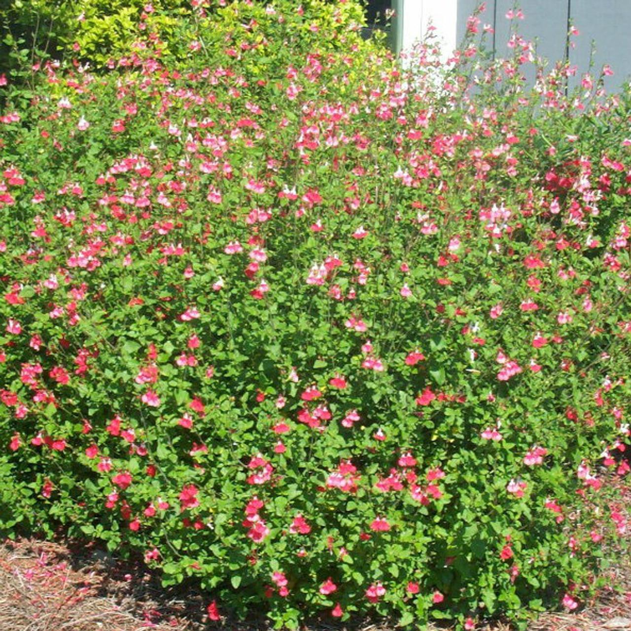 Little Leaf Sage Hot Lips Gardens Direct