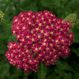 Achillea Desert Eve™Deep Rose