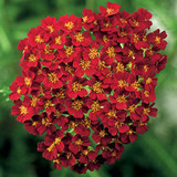 Achillea Desert Eve™ Red