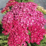 Achillea Saucy Seduction
