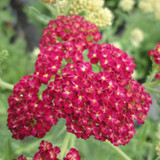 Achillea Strawberry Seduction