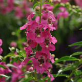 Angelonia Archangel™ Raspberry Improved (Summer Snapdragon)