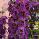 Angelonia Archangel™ Dark Purple (Summer Snapdragon)